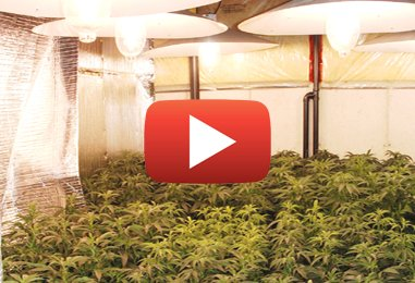 Cultures de la marijuana et enlèvement de moisissures toxiques