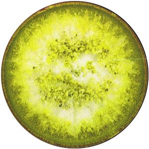 Aspergillus ochraceus