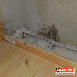 what is black mold pictures and symptoms of black mold mold busters. Black Bedroom Furniture Sets. Home Design Ideas
