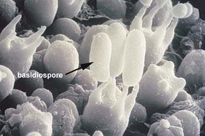 basidiospore