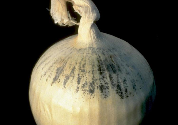 Aspergillus niger on onion