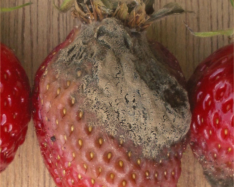 Botrytis cinerea on strawberry