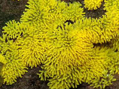 Ceratiomyxa fruticulosa Myxomycetes