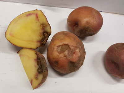 02 Phoma in Red Icelandic potato