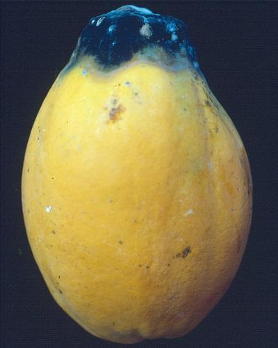 03 Phoma stem end rot