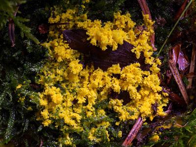 Yellow myxomycetes