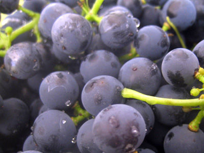 yeast on grapes