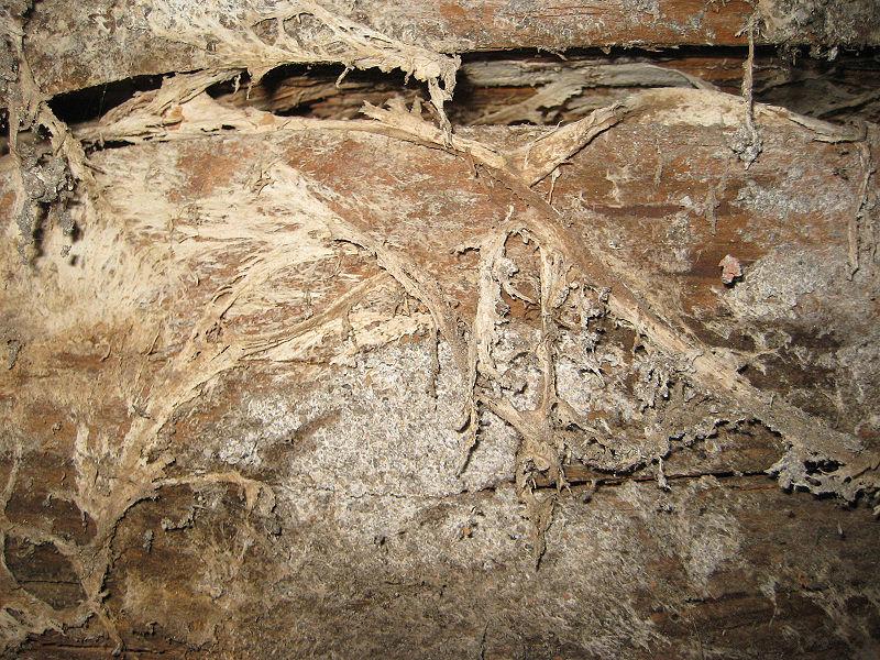 de la pourriture sèche provoquée par Serpula lacrymans